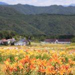 Keindahan Taman Lily Hunter Mountain