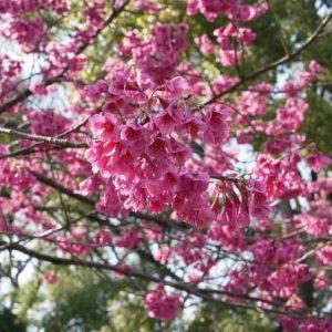 Keindahan bunga saat Kiyosumi Garden Sakura 2020