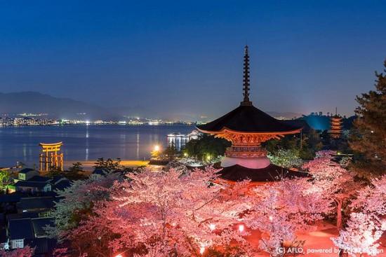 Keindahan bunga sakura dari Kuil Itsukushima
