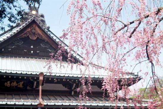 Keindahan bunga sakura di Kuil Gotokuji
