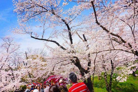 Keindahan hanami sakura di kompleks Kastil Ueda Nagano