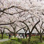 Keindahan sakura di Kema Sakuranomiya