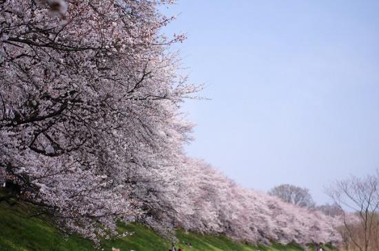 Keindahan sakura di Taman Sewaritei Kyoto