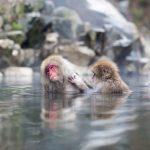 Kera Jepang di Jigokudani Monkey Park