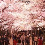 Light up bunga sakura di musim semi