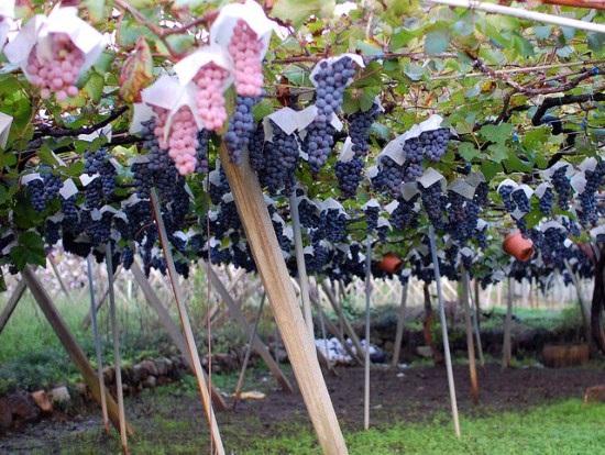 Makan di kebun anggur sepuasnya