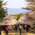 Melihat bunga sakura di Keage Incline Kyoto