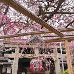 Melihat sakura di Kuil Ohoin Kyoto