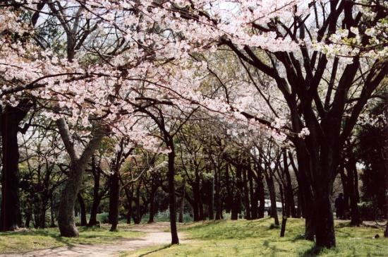 Menikmati hanami di kompleks taman