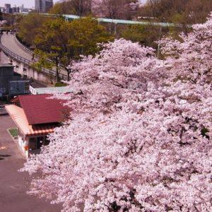 Menikmati keindahan Higashiyama Park Sakura 2020
