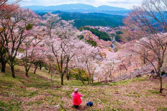 Menikmati keindahan bunga sakura di Festival Sakura Yoshino