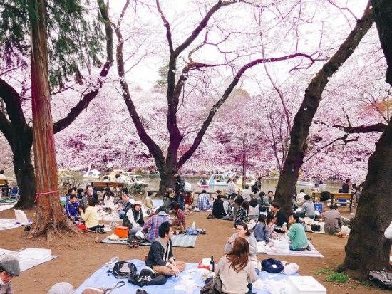 Menikmati keindahan bunga sakura di Inokashira Park
