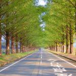 Metasequoia Namiki menjelang musim gugur