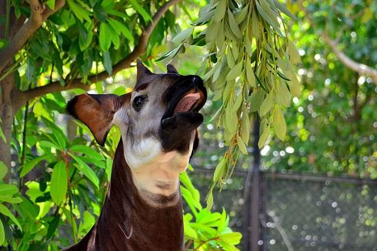 Okapi di Zoorasia Yokohama