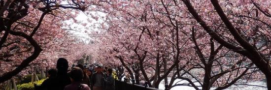 Orang banyak mengunjungi Kawazu Sakura
