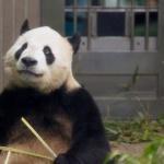Panda besar di Kebun Binatang Ueno