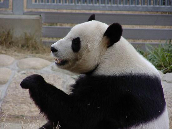 Panda besar di Oji Zoo Kobe