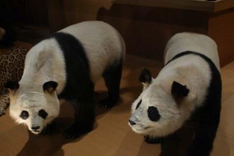 Panda di Museum Nasional Alam dan Sains Tokyo