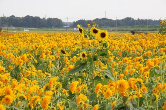 Panorama Kebun Bunga Matahari Akeno