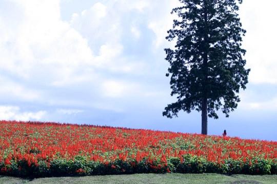 Panorama kebun bunga Tottori Hanakairo
