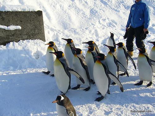 Parade penguin di Asahikawa Zoo