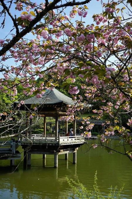 Pemandangan di Kuil Shinsoji Sakura 2020