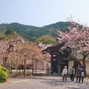 Pemandangan Bishamondo Temple Sakura 2020