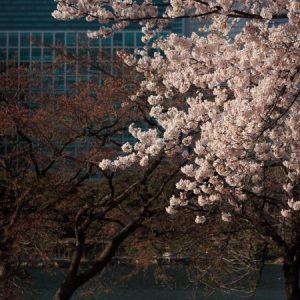 Pemandangan Hamarikyu Garden Sakura 2020