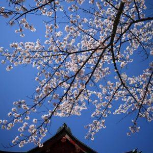Pemandangan Kuil Rinnoji Sakura 2020