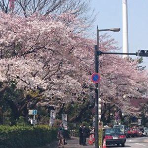 Pemandangan Meiji Jingu Gaien Sakura 2020