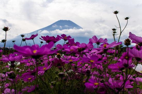 Pemandangan bunga cosmos di Kebun Bunga Hananomiyako