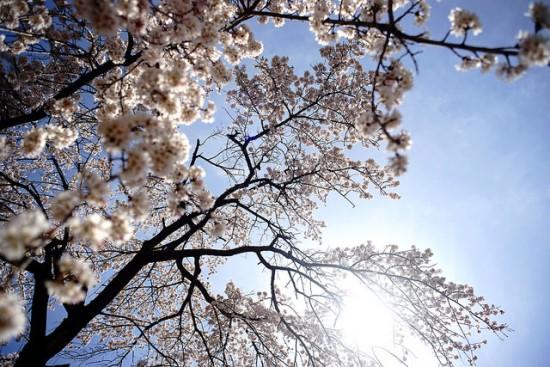 Pemandangan bunga sakura di Showa Kinen Koen
