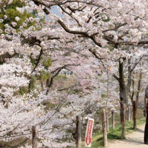 Pemandangan di Ueda Castle Sakura 2020