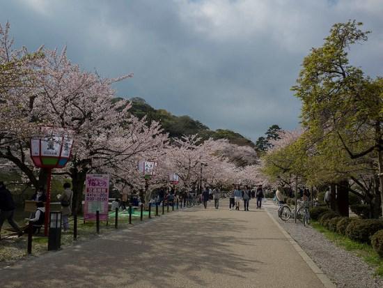 Pemandangan hanami bunga sakura di Kastil Hikone