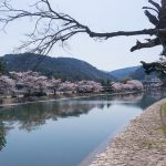 Pemandangan pohon sakura dari tepi Ujigawa Canal