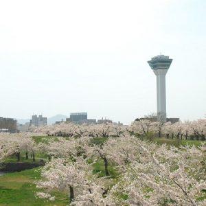 Pemandangan pohon sakura mekar di Fort Goryokaku