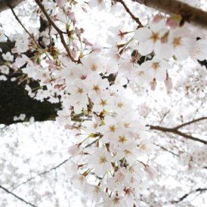 Pemandangan saat Yomiuriland Sakura 2020