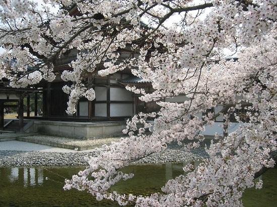 Pemandangan sakura di Kuil Byodoin