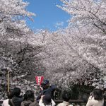 Pemandangan sakura di Meguro River