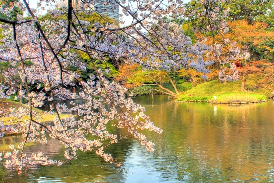 Pemandangan sakura waktu Koishikawa Korakuen Sakura 2020