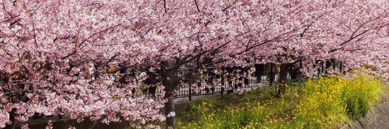 Pohon berjejer di Kawazu Sakura