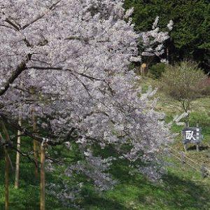 Pohon bunga sakura di Garyu Park saat hanami