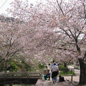 Pohon bunga sakura mekar di Philosophers Path