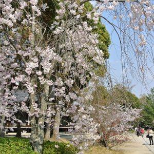 Pohon omuro-zakura di Kuil Ninnaji yang terkenal