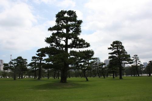 Pohon pinus hitam di Jembatan Nijubashi di Taman Istana Kaisar