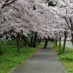 Pohon-pohon bunga sakura di Uminonakamichi Seaside Park