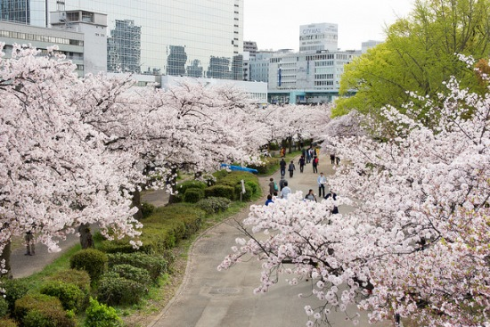 Pohon sakura di Kema Sakuranomiya