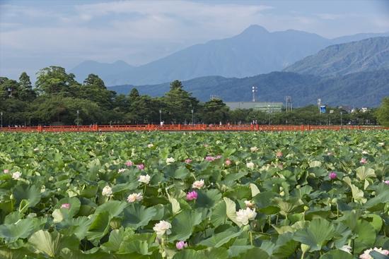 Sacred Lotus di Kastil takada