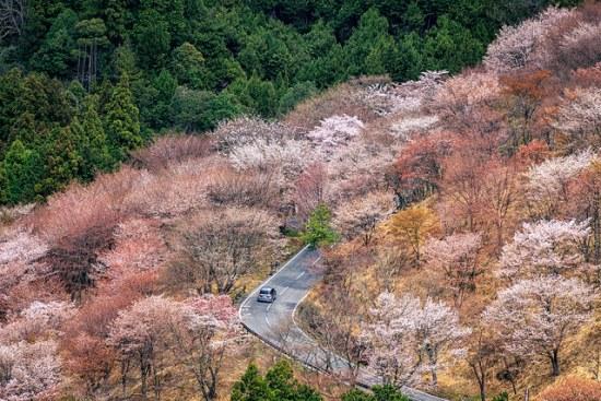 Sakura dari Gunung Yoshino Nara