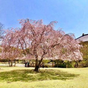 Sakura di Kuil Todaiji waktu Nara Park Sakura 2020